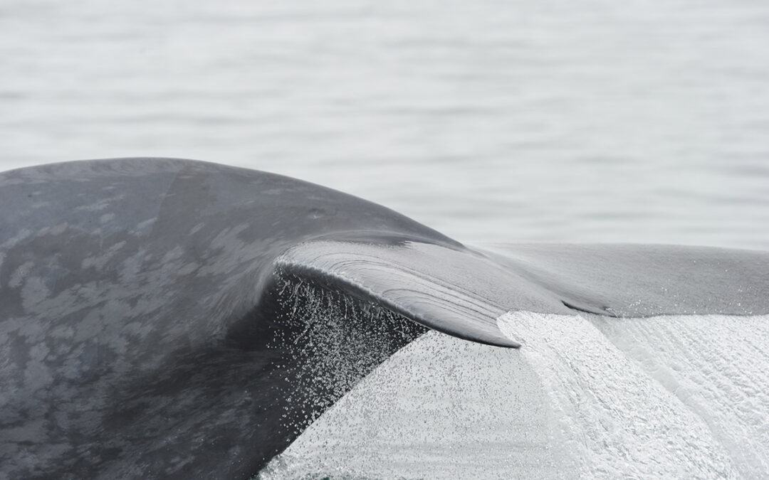 New Publication on Behavioral Responses of Blue Whales
